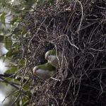 monniksparkieten bij nest, april 2004