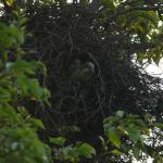 monniksparkieten in nest, mei 2014