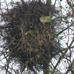 nest aan de Vuurbloem, februari 2015