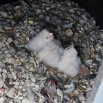 jonge slechtvalken in het nest, 28 april 2017