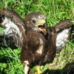 jonge wespendief n het Beekbergerwoud, augustus 2008